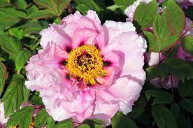 family garden chinese planting tree peonies from cricket hill garden the martha