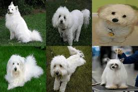 dogs with curly hair and floppy ears small fluffy dog breeds list including top 10 best guide