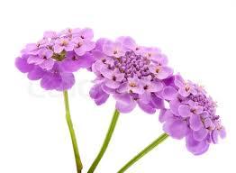 purple flowers purple flowers on a white background stock photo colourbox