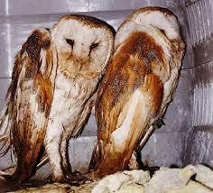 Where Does The Barn Owl Live The Barn Owl Centre Should Owls Be Pets The Barn Owl Centre