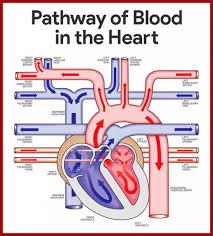 the cardiac system choice image human anatomy image