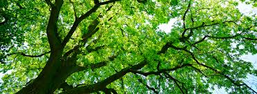 For A Tree Canopy Healthy Trees Healthy Communities Canopy