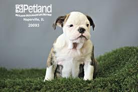 australian shepherd illinois petland naperville petland pets make life better puppies sold
