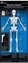 Picture Diagram Of The Human Body Of The Human Skeletal System Infographic