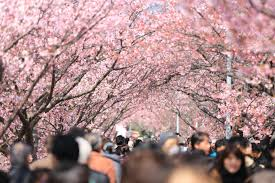 cherry blossoms people pink u2014 bossfight