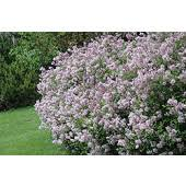 syringa lilac shade ornamental trees outdoor living
