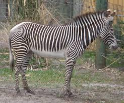grevy u0027s zebra facts diet u0026 habitat information