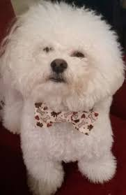bichon frise puppy 8 weeks good night 8 week old bichon frise out for the night pets