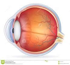 Human Anatomy Images Free Download Detailed Human Eye Anatomical Illustration Royalty Free Stock