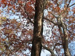 White Oak Tree Bark White Oak Quercus Alba Gnps