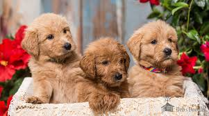 Goldendoodle Puppies And Sheepadoodle Puppies In Virginia And