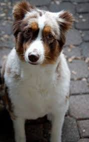 shaving a australian shepherd before and after shaving our australian shepherd my puppy