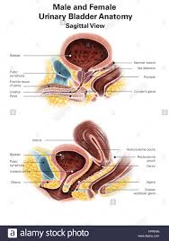 Urinary Bladder Anatomy And Physiology Anatomy Of Male And Female Urinary Bladder With Labels Stock