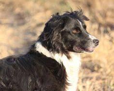 australian shepherd joliet rescued blind and deaf australian shepherd lives a life full of