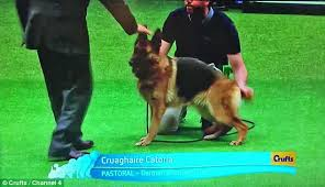 boxer dog crufts 2015 german shepherd with a sloped back wins crufts u0027 2016 best of breed