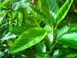 Teh Afrika biar pahit manfaat daun afrika sungguh hebat manfaat daun untuk
