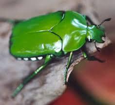 christmas beetles sustainable gardening australia