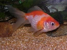 pesci alimentazione alimentazione pesci mangimi cibo per pesci