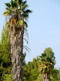 los angeles native plants los angeles palm trees los angeles love affair