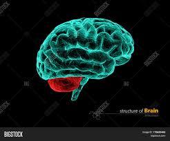 3d Head Anatomy Human Brain Cerebelum Anatomy Structure Human Brain Anatomy 3d