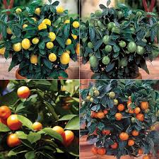 calamondin orange citrus trees stark bro s