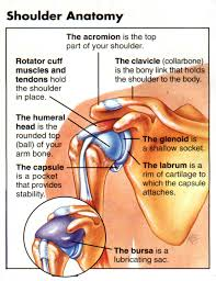 Anatomy Of The Shoulder Girdle Shoulder Ligaments Anatomy Anterior Ligaments Of The Shoulder