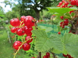 family garden chinese free images berry flower summer bush food green red