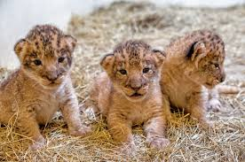 lions for sale indy zoo s lion pride grows by three zooborns