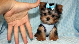 Seeking Teacup Teacup Yorkie Puppy The Mini Terrier Yorkieroom
