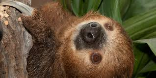 4 toed sloth southern two toed sloth smithsonian s national zoo