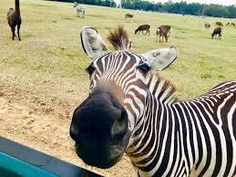 Louisiana wildlife tours images Global wildlife center giraffe habitat travelingmom jpg