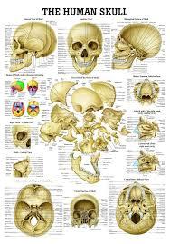 Base Of The Skull Anatomy Best 20 Human Skull Anatomy Ideas On Pinterest Skull Anatomy
