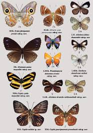 butterfly species names and pictures butterflies pictures and