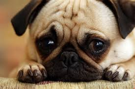 Sad Pug Meme - create meme sad pug sad pug sad dog pug dog pictures