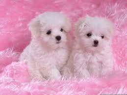 puppy wallpapers qige87 com