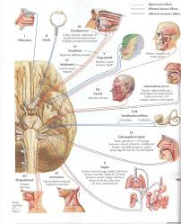 Exercise 17 Gross Anatomy Of The Brain And Cranial Nerves Best 25 Cranial Nerve 2 Ideas Only On Pinterest Cranial Nerve 1