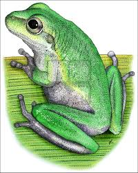 squirrel treefrog hyla squirella line art and full color