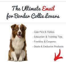 australian shepherd odor are border collies smelly breeds do border collies stink see