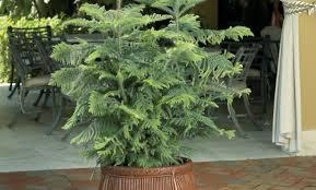Fiddle Leaf Fig Tree Care by Plant 2ff0db30a43ee551eef3bef9d8cd72a6 Fiddle Leaf Fig Tree