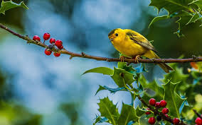 yellow bird on tree photo and desktop wallpaper