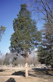 trees of ohio eastern redcedar