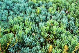 australian native ground cover plants blue chalk sticks ground cover google search project 15001 twr