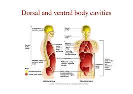 Human Anatomy Terminology Chap1 Anatomical Terminology