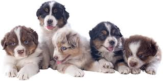 australian shepherd club qld mini australian shepherd puppies available in phoenix u0026 tucson az