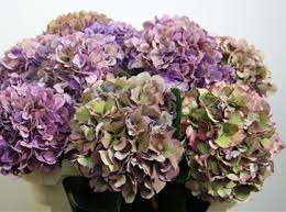 Purple Hydrangea Colors Of Hydrangeas Flirty Fleurs The Florist Blog