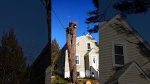 suffolk county tree removal cheap tree service best company toping