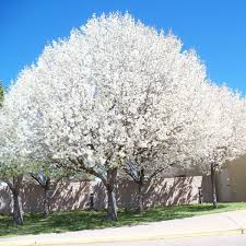 aristocrat flowering pear tree nature nursery