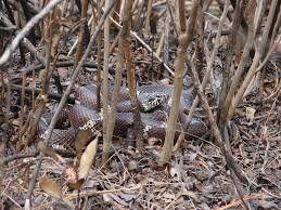 living alongside wildlife kingsnakes keep copperheads in check