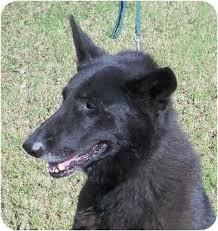 belgian sheepdog lab mix dega adopted dog hendersonville tn german shepherd dog