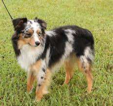 australian shepherd water toy australian shepherd u2013 alangus mini aussies a dog blog